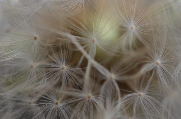 Close-up Dandelion