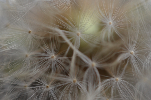 Close-up Dandelion